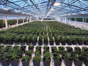 Canábis medicinal – quem são os investidores em Portugal?